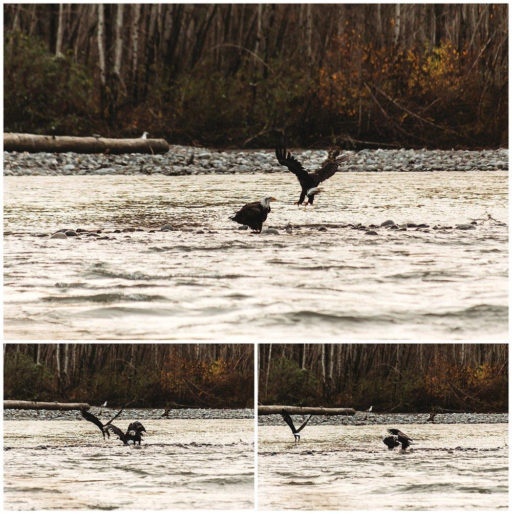 Eagles Vedder River Chilliwack 17.jpg