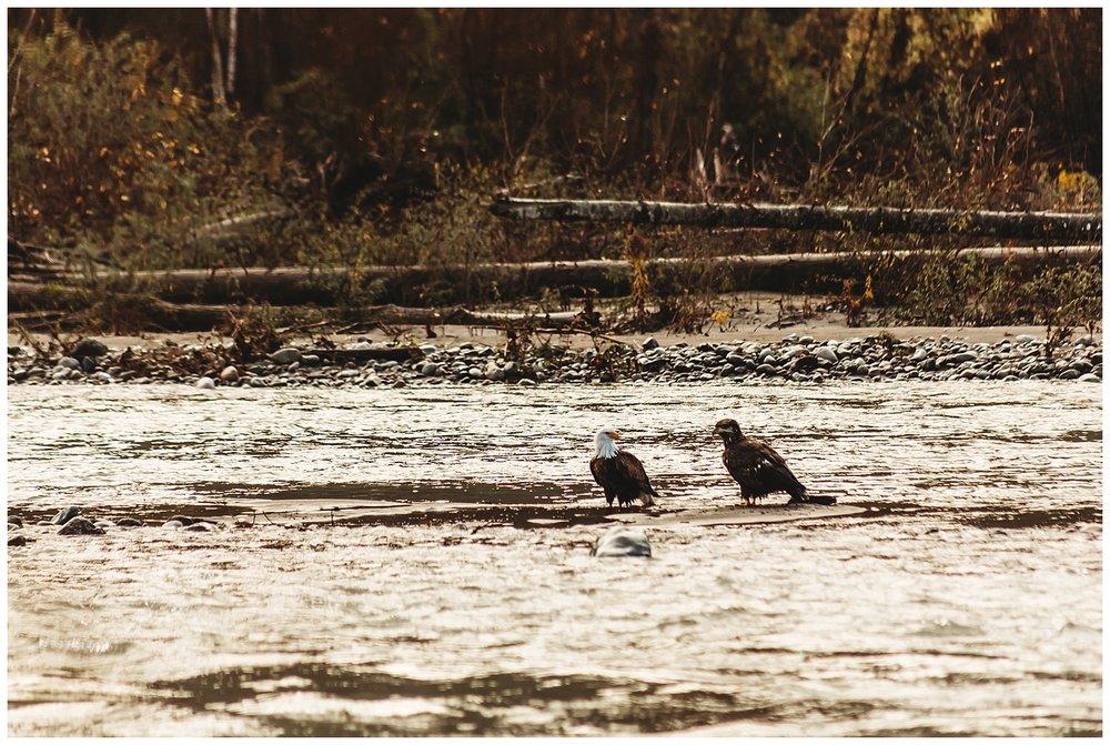 Eagles Vedder River Chilliwack.jpg