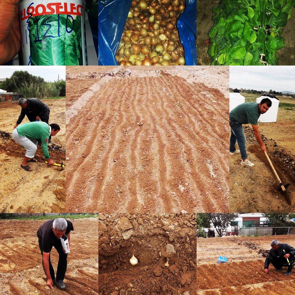 2016, Softex Garden Fall Planting, Thessaloniki, Greece.