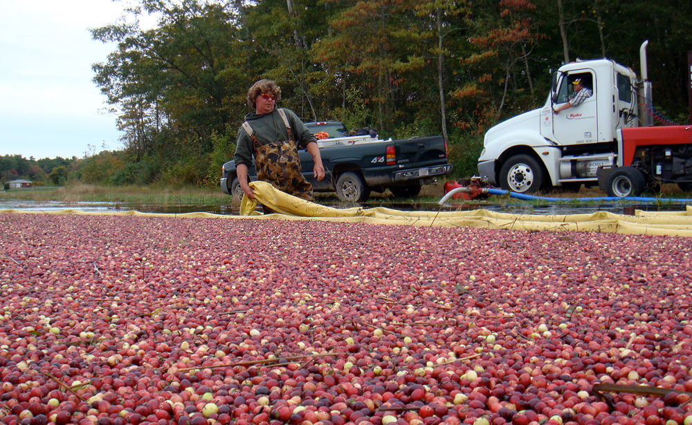Keith Pulls Boom | During water harvest, cranberries are contained by a floating boom; the tightness of the boom controls the density of the berries as they are pushed to the pump.