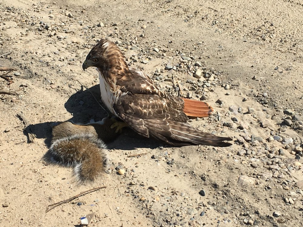 August 28, 2016 | Red Tail Hawk with Prey