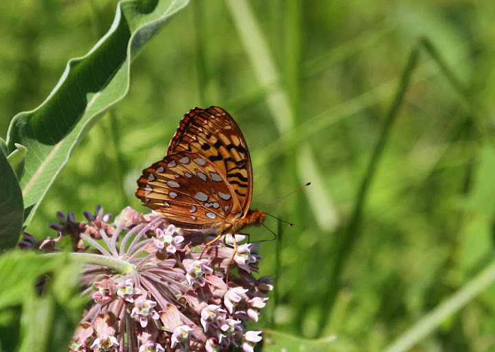 June 29, 2012 | Silver Bordered Fritillary