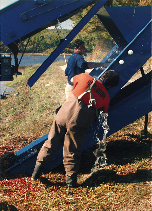 1985 | Conveyor used in Harvest | In the early days, berries were pushed up onto a conveyor.