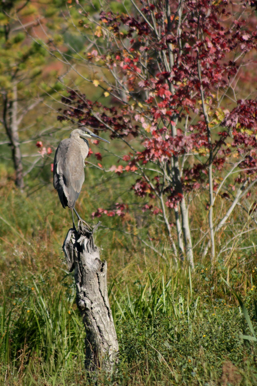2017_09_24_great blue heron_img_1438_cr_cjackson.jpg