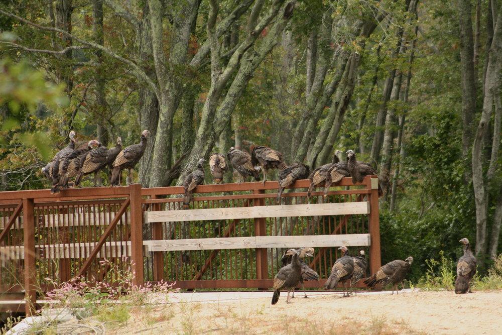 2017_09_16_turkeys on the bridge_img_0897_cr_cjackson.jpg