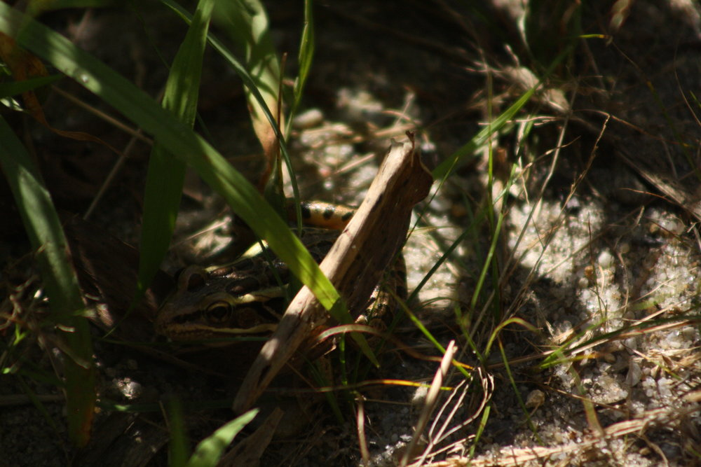 2017_09_09_pickerel frog_img_0719_cr_cjackson.jpg