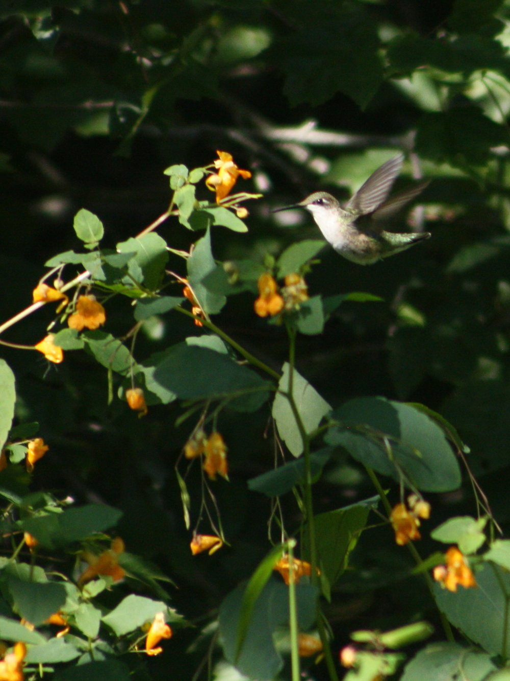 2017_09_hummingbird feeding_img_0705_cr_cjackson.jpg