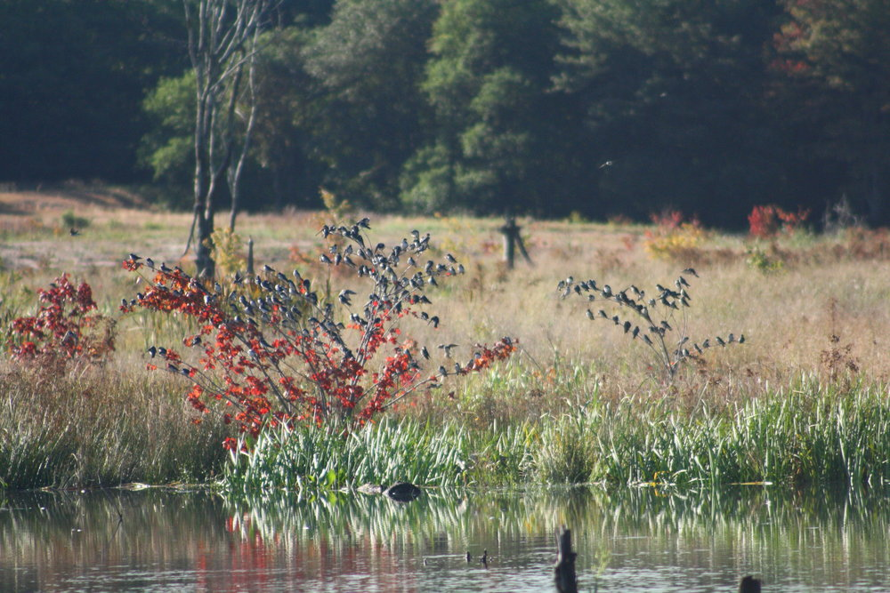 2017_09_24_swallows at the pond_img_1325_cr_cjackson.jpg