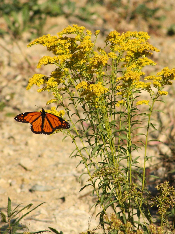 2017_09_29_monarch butterfly_img_1742_cr_cjackson.jpg