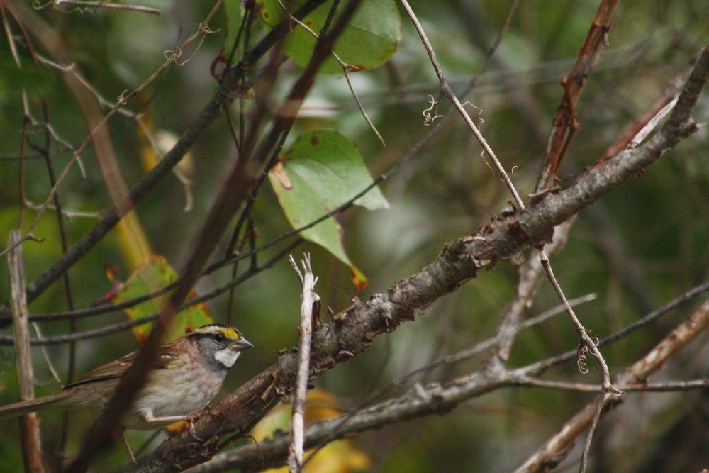 2017_10_14_white-throated sparrow_img_2686_cr_cjackson.jpg