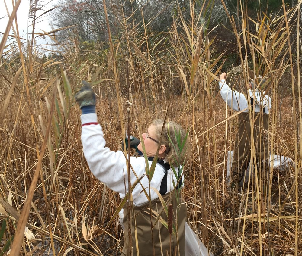 November 14, 2015 | Paul Linda harvest Phragmites seed heads former BDP