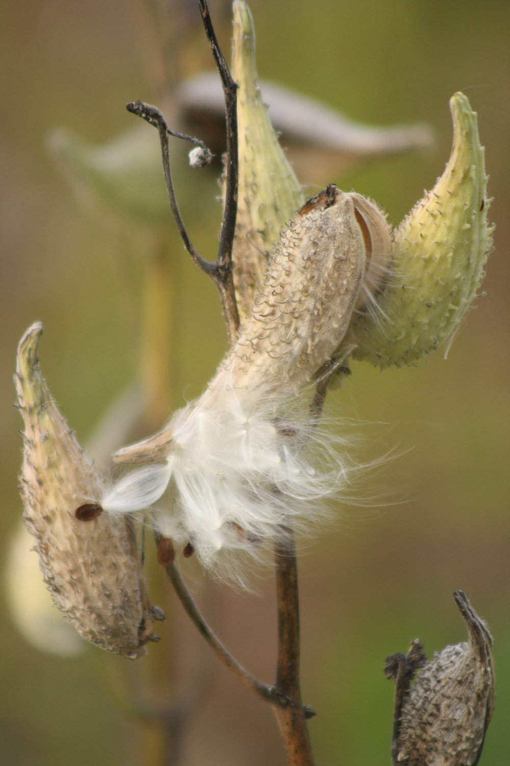 Milkweed pod | Photo by: Cyndi Jackson