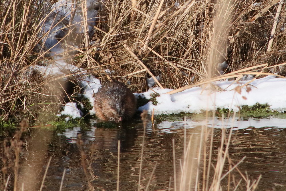 Muskrat eating at the bank of the stream