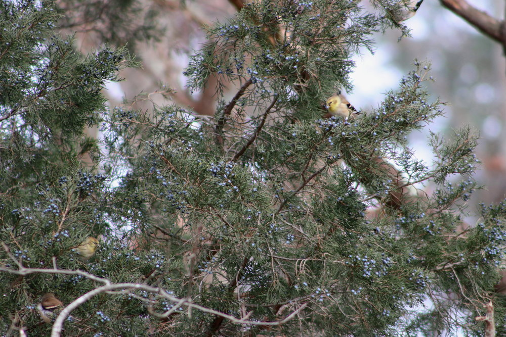 Goldfinches feasting on juniper berries