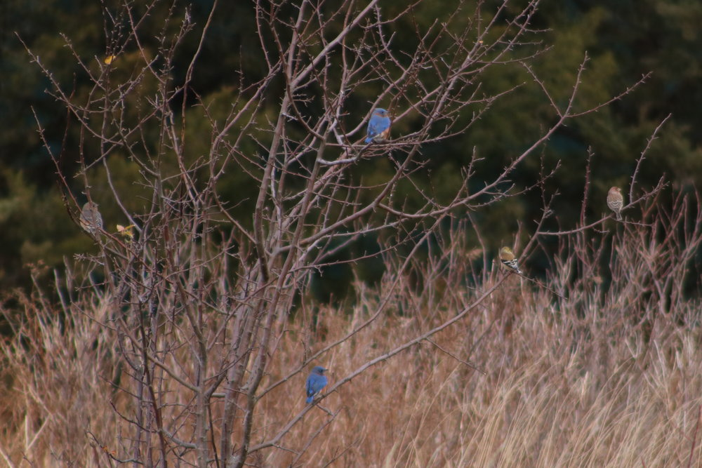 Bluebirds, house finch, american goldfinch