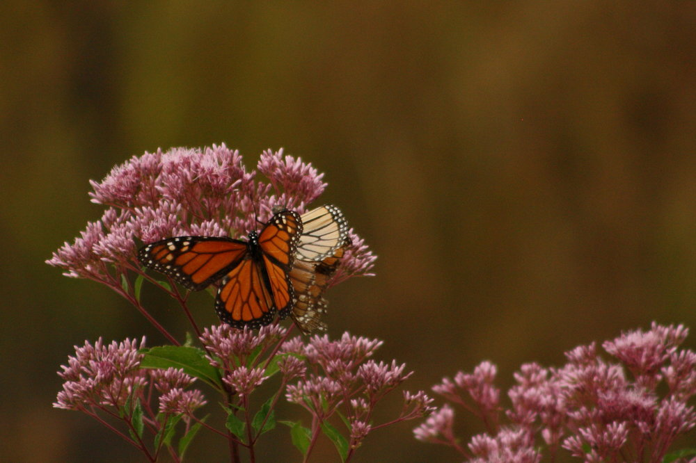 Monarch butterflies on milkweed