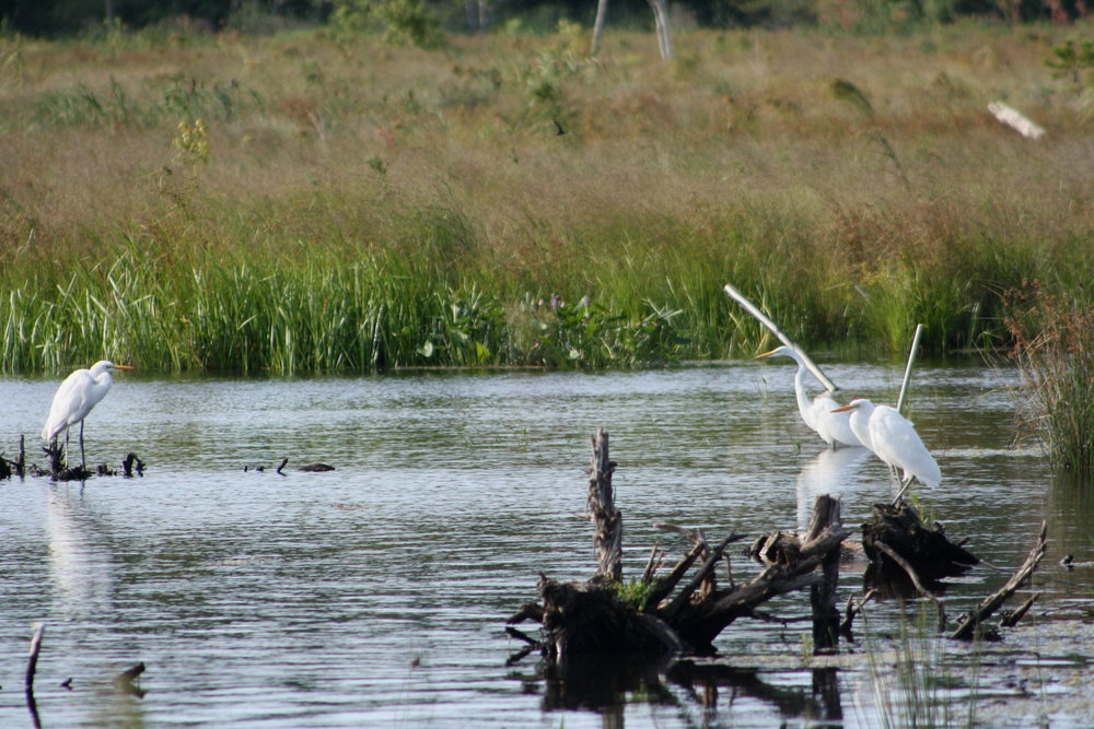 Three great egrets