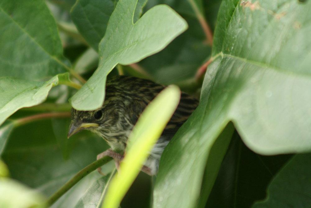 2017_07_23_sparrow fledgling_img_8222_cr_cjackson.jpg