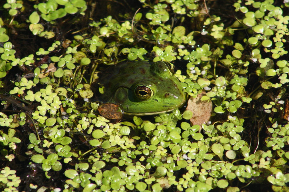 Bullfrog in the water