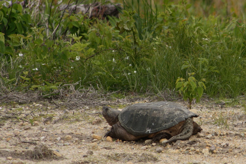 2017_05_28_snapping turtle_img_5585_cr_cjackson.jpg