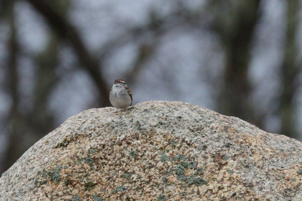 April 26, 2018 | Chipping Sparrow | Photo By: Cyndi Jackson