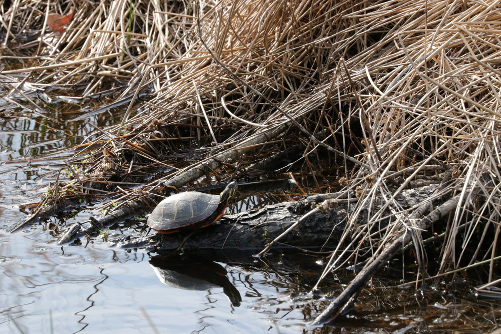 April 28, 2018 | Painted Turtle | Photo By: Cyndi Jackson