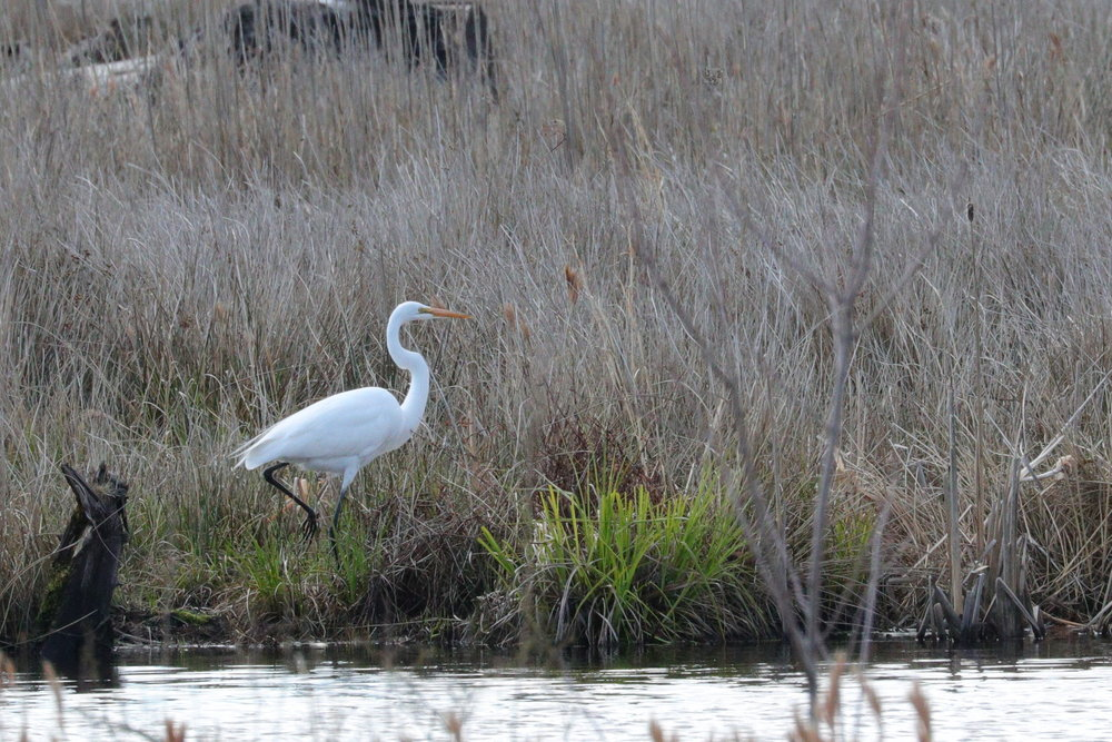 May 1, 2018 | Great White Egret | Photo By: Cyndi Jackson