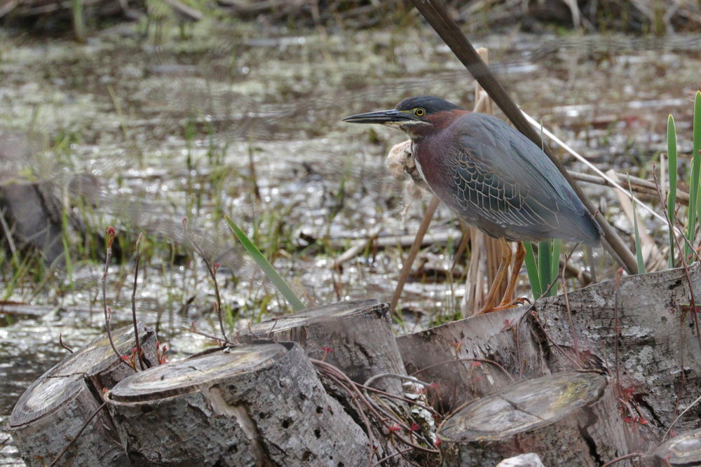 May 3, 2018 | Green Heron | Photo By: Cyndi Jackson