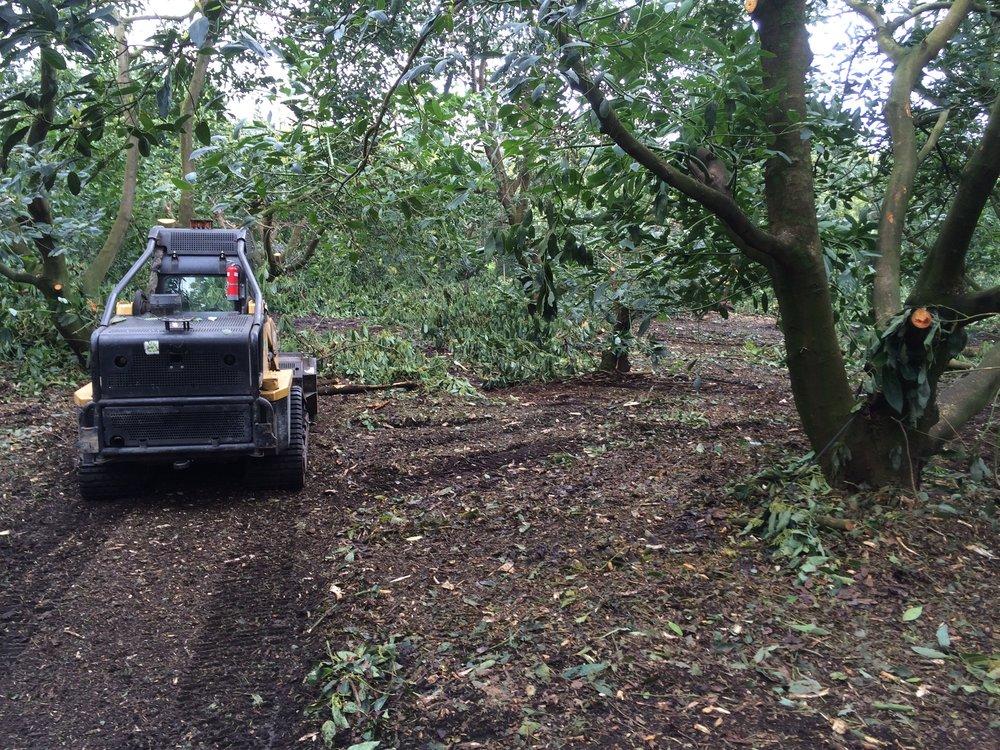Mulching Avocado orchard.JPG