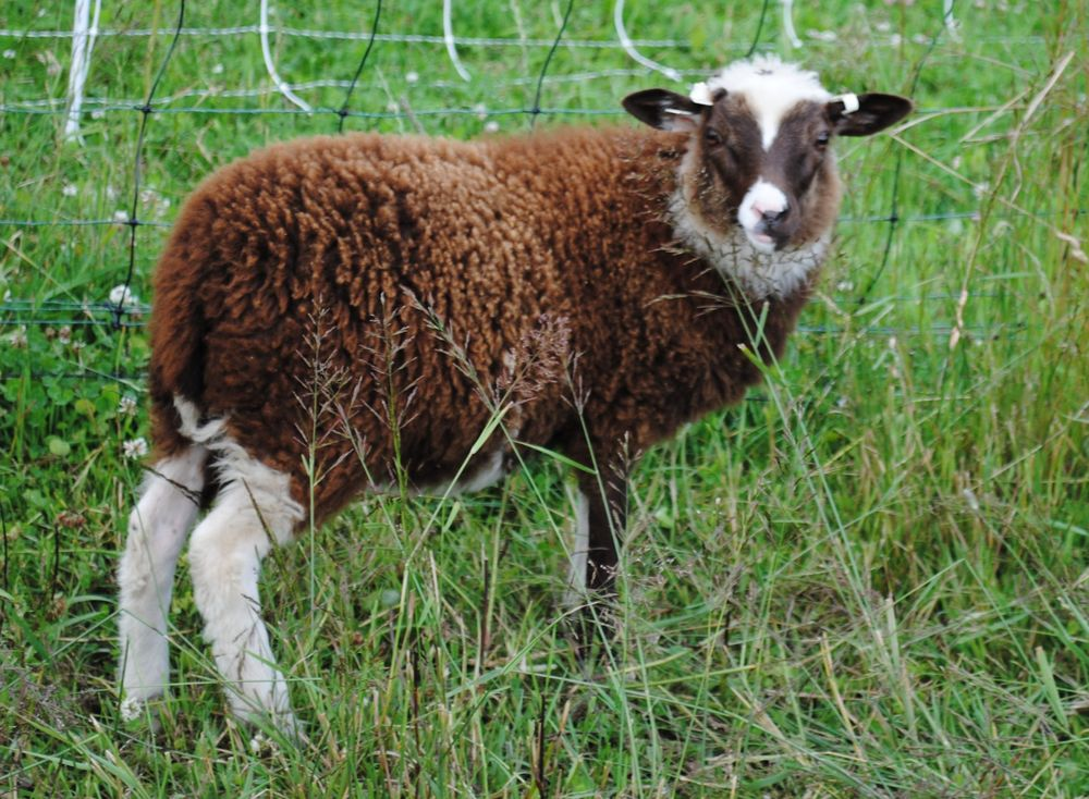 Sire: Bellwether Oiseval  Dam: Bellwether Fetlar