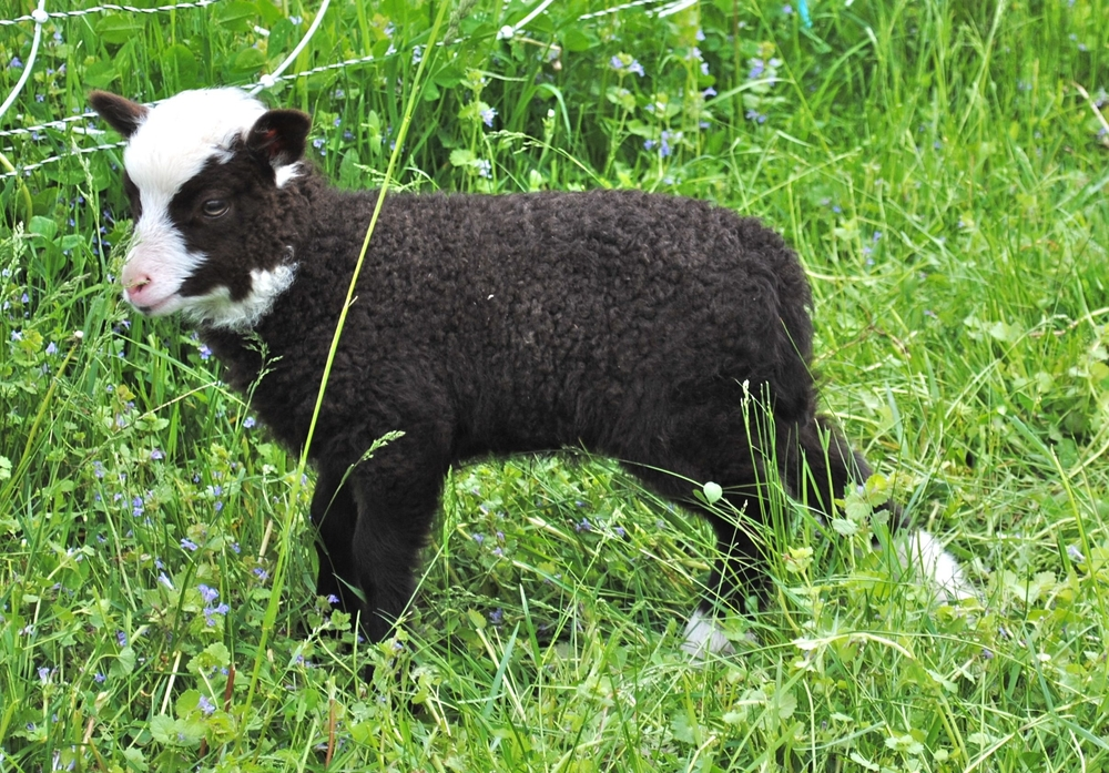 Shetland Sheep    Learn More