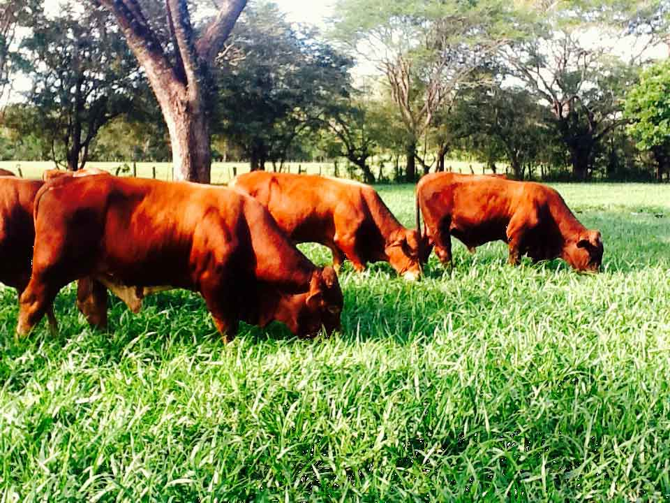 beefmaster cattle costa rica