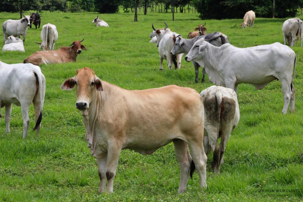 Vacas 1.jpg