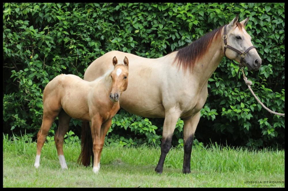 quarter horse mare costa rica glo