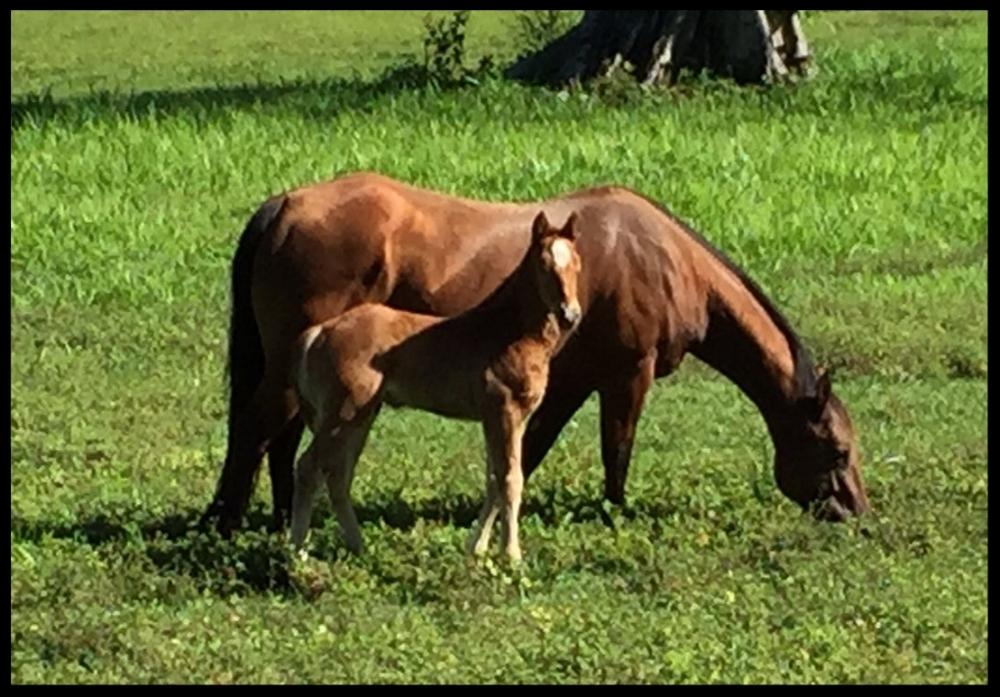 quarter horse mare and foal costa rica ichi