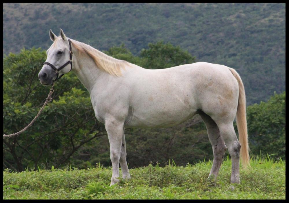 quarter horse mare costa rica chispa