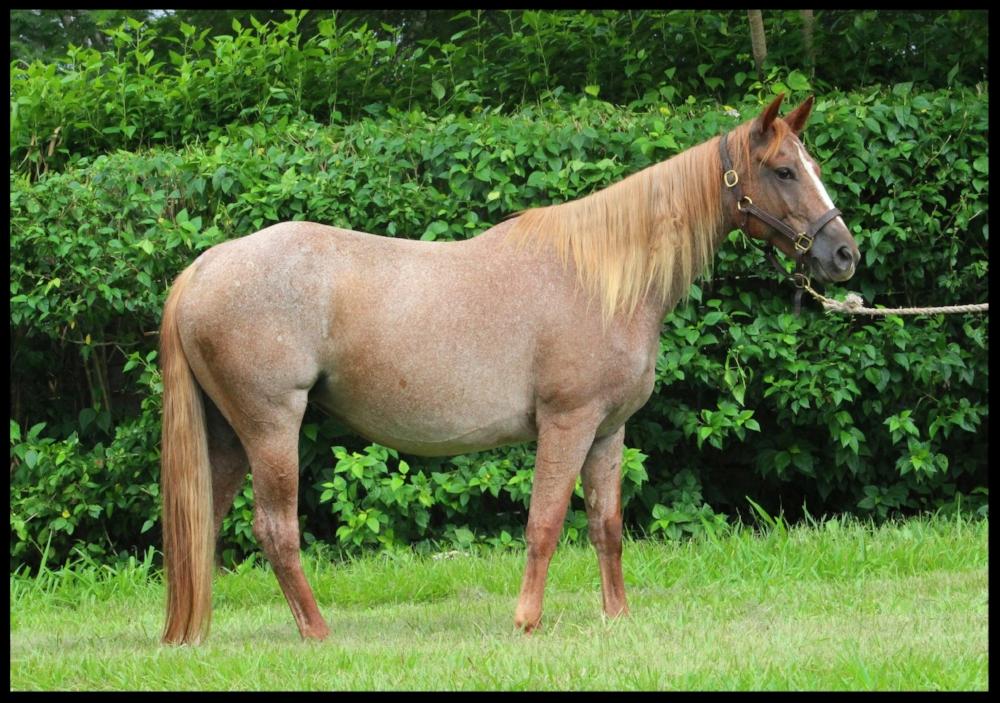 quarter horse mare costa rica spoon