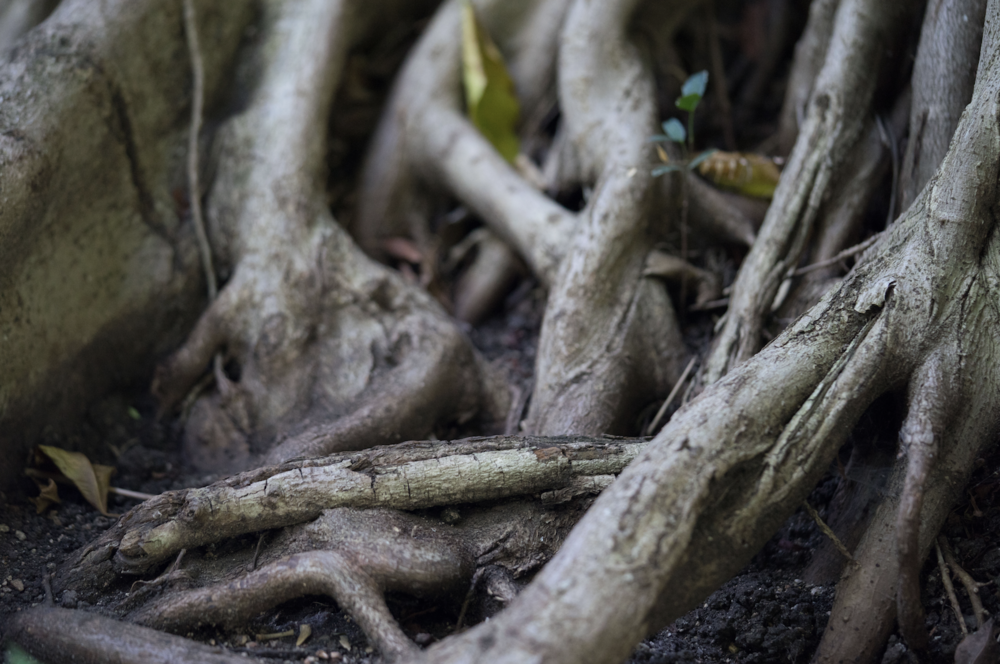 Ficus tree root, Huntington Tropical Garden. Photo by  Sally Krueger-Wyman.