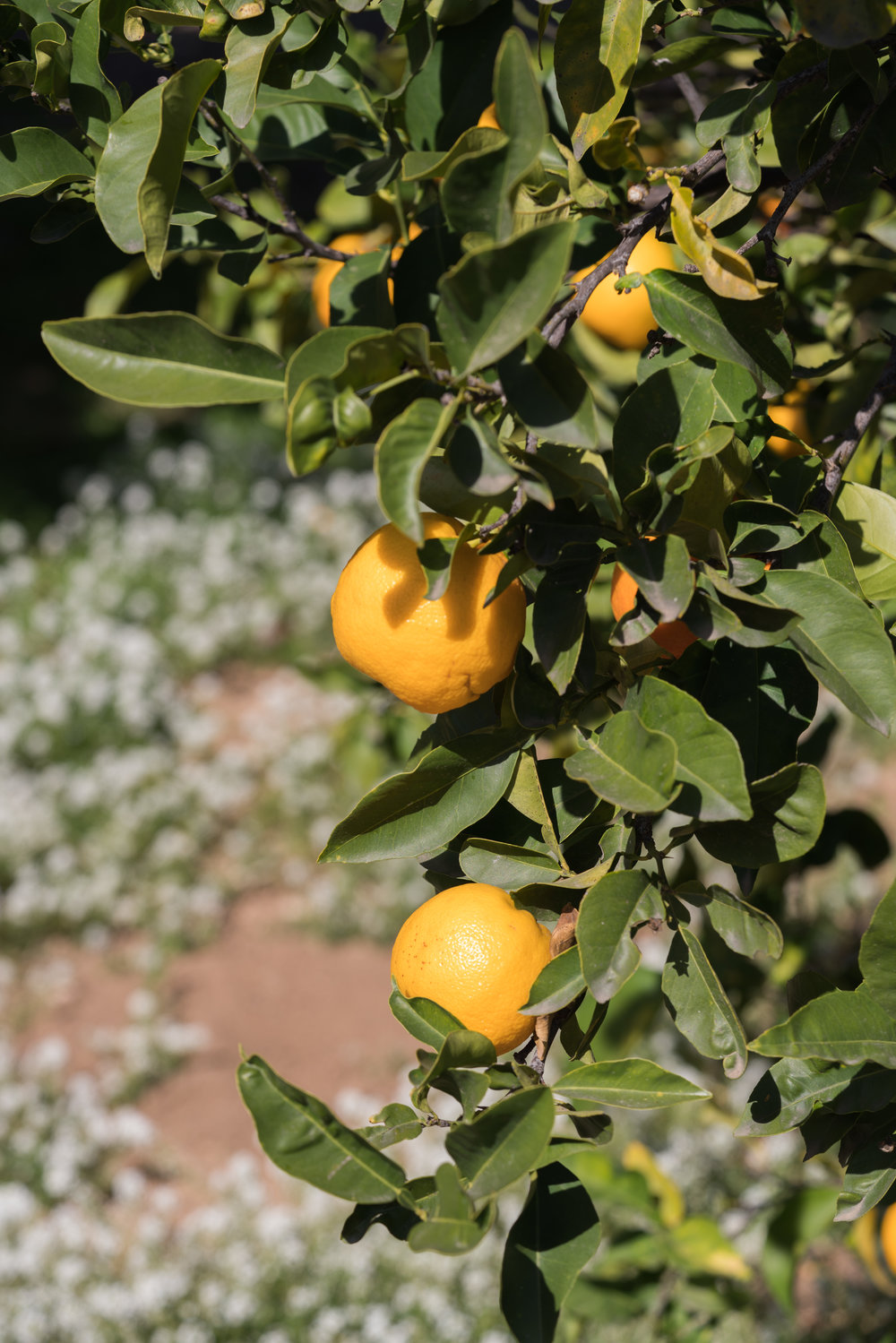 Citrus legacy,  McDonald Farm . Photo by  Sally Krueger-Wyman.