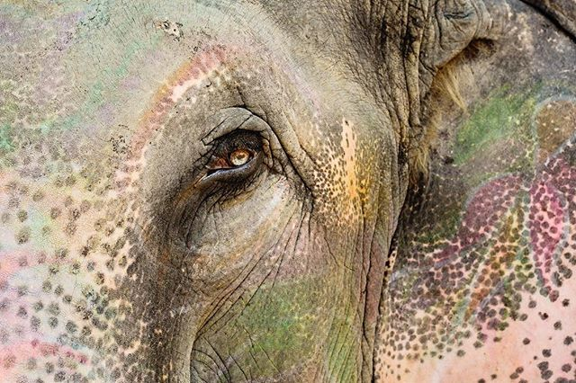 Painted lady. • • • • #elephantsanctuary #india #jaipur #animalsanctuary #paintedelephant #pinkelephant  #animalsofinstagram #elephanteye #intothewild #ourplanetdaily #letsgosomewhere