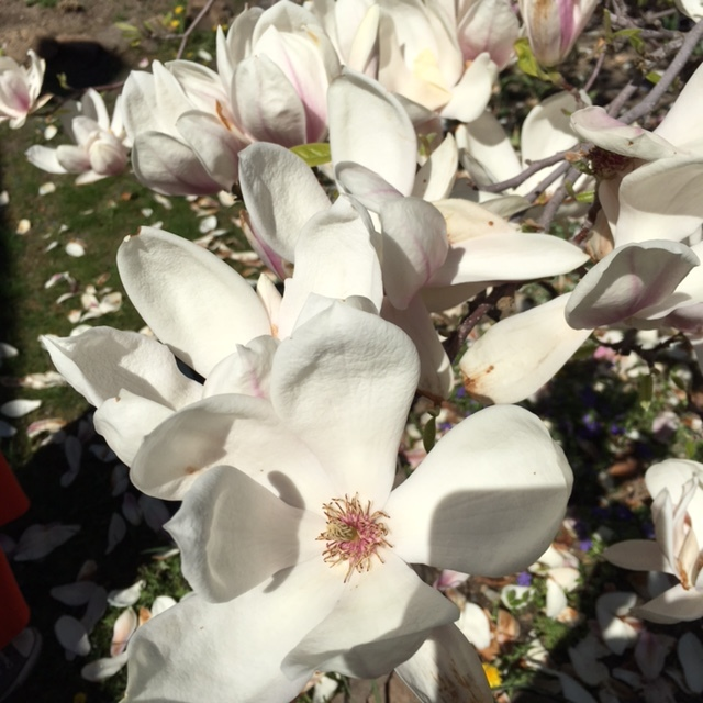 Giant Magnolia blooms in our front yard.
