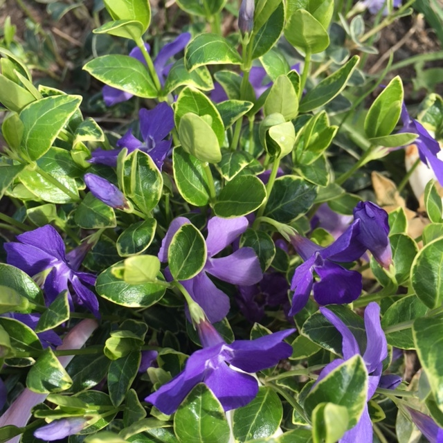 Our returning vinca from last year