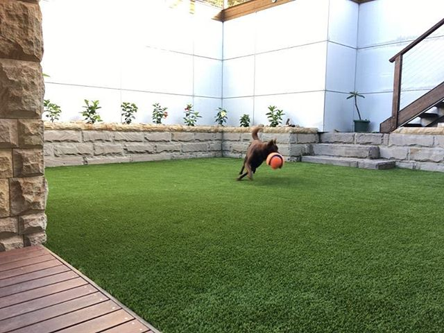 #greenlook77  #synthetic grass  #dogs #Royal grass