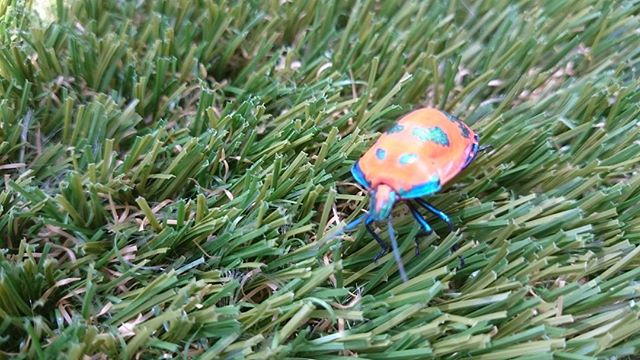 #greenlook77  #beetle synthetic grass