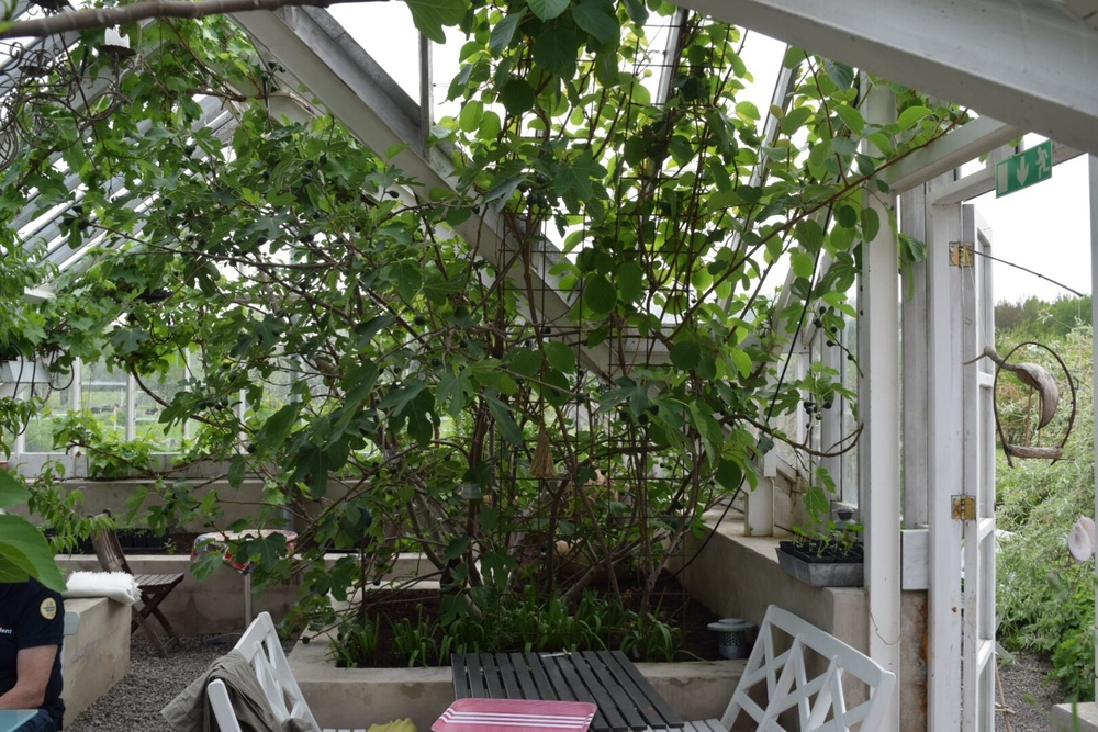 And they had a huge fig tree in the green house! Seriously? Ser-i-ous-ly!