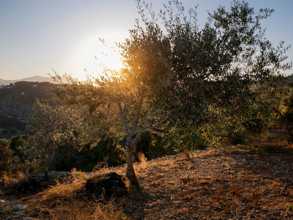 olivenbaum_sonnenuntergang_copyright_olivia-extra.jpg