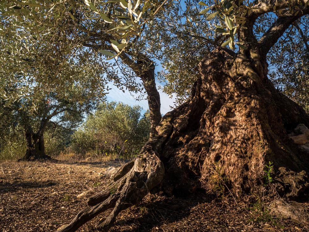 olivenbaum-stamm_copyright_olivia-extra.jpg