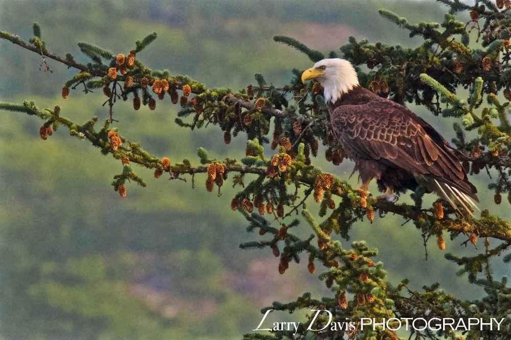 Eagle in Alaska, Photo by  LarryDavisPhotography.com