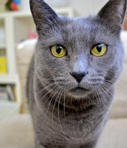 Laila, my gray cat