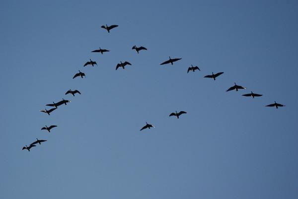 birds flying in a V
